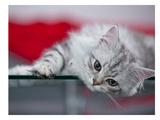 Lovely Kitten Stampe di Melanie Viola