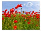 Field Of Poppies - Panoramic View Kunst af Melanie Viola