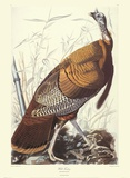 Wild Turkey Plakater af John James Audubon