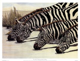 Four Zebras Drinking Poster by Charles Berry