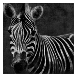 Zebra Black And White Prints by Jace Grey