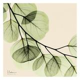 Mint Eucalyptus 2 Poster van Albert Koetsier