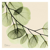 Mint Eucalyptus 2 Prints by Albert Koetsier