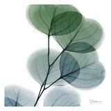 Dull Eucalyptus Kunstdrucke von Albert Koetsier
