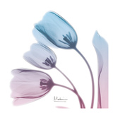 Soft Tulips Rose Serenity Posters av Albert Koetsier