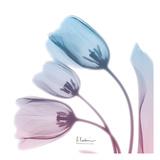 Soft Tulips Rose Serenity Print by Albert Koetsier