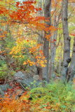 An Array of Fall Color, Maine Coast, New England Photographic Print by Vincent James