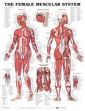The Female Muscular System Anatomical Chart Poster Poster