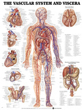 The Vascular System And Viscera Anatomical Chart Poster Pôsters