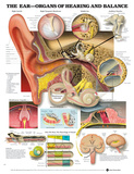 The Ear - Organs Of Hearing And Balance Anatomical Chart Poster Posters