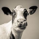 Close Upon a Cows Face Fotografisk trykk av Mark Gemmell