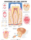 Anatomy Of The Teeth Anatomical Chart Poster Prints