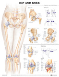 The Hip And Knee Anatomical Chart Poster Posters