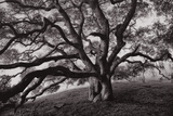 Majestic and Moody Oak, Sonoma Valley, Northern California Photographic Print by Vincent James