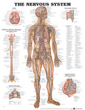 The Nervous System Anatomical Chart Poster Julisteet