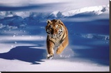 Siberian Tiger - Running In Snow Stretched Canvas Print
