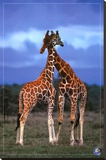 High Love, Save Our Planet (Giraffes) Stretched Canvas Print