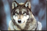 WWF - Grey Wolf Stretched Canvas Print