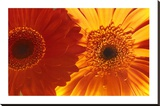 Gerbera Daisies Stretched Canvas Print