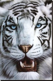 White Tiger (Tigre Blanco) Art Poster Print Stretched Canvas Print