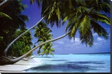 Palm Trees Leaning Stretched Canvas Print by Paul Steel