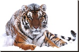 Siberian Tiger (In Snow) Art Poster Print Stretched Canvas Print