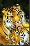Tiger - Mothers Love Stretched Canvas Print