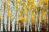 Aspen Grove - Yellow Stretched Canvas Print