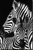 Zebra- Stretched Canvas Print