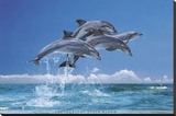 Steve Bloom (Four Dolphins) Art Poster Print Stretched Canvas Print