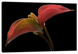Anthurium 2 Gallery Wrapped Canvas by Barry Seidman