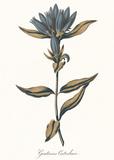 Gentiana Catesbaci - Golden Posters af A. Poiteau