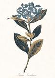 Ixora Banduca - Golden Plakater af A. Poiteau