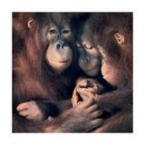 Orangutan Family Lámina giclée por Tim Flach