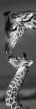 Masai Mara Giraffes Poster by Danita Delimont