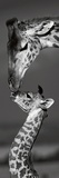 Masai Mara Giraffes 高画質プリント : ダニタ・デリモント