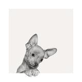 Sweet Chihuahua Poster by Jon Bertelli