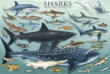 Sharks Prints by  Unknown