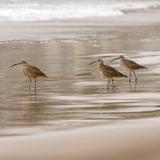 Shore Birds I Poster di Danita Delimont