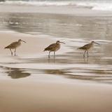 Shore Birds II Arte di Danita Delimont