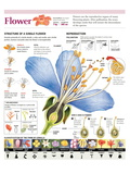 Infographic of the Flower Parts and their Classification. Pollination and Seed Formation Pôsteres