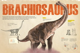 Infographic of the Brachiosaurus. Herbivorous Dinosaur from the Jurassic Posters