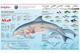 Infographic of the Anatomy, Habitat and Bottlenose Dolphin Breeding Photo