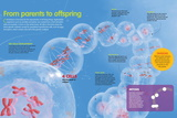 Infographic About the Process of Cell Division, Meiosis Prints