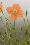 Orange Poppy (Papaver fugax) flowering, Cam Pass (Cam Gecidi), Anatolia, Turkey Fotoprint van Bob Gibbons