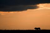 Massai Lion (Panthera leo nubica) adult male, silhouetted against sky at sunset, Masai Mara, Kenya Photographic Print by Elliott Neep