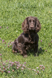 Domestic Dog, Working Cocker Spaniel, juvenile female, seven months old Photographic Print by David Hosking