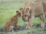 Massai Lion (Panthera leo nubica) adult female, with two-month old cub, Masai Mara Photographic Print by Elliott Neep