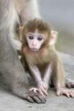 Rhesus Macaque (Macaca mulatta) baby, sitting beside mother, Jaipur City, Rajasthan Fotografisk trykk av Andrew Forsyth