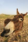 Donkey, adult, close-up of head, Lanzarote Stampa fotografica di Winfried Wisniewski